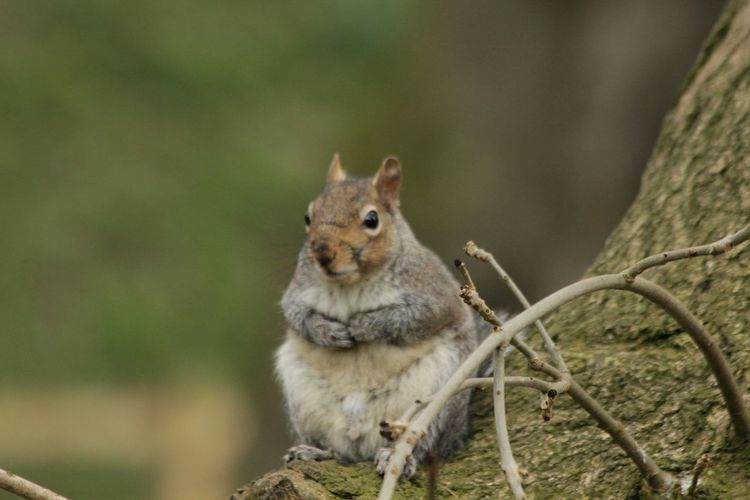 Nature_collection Grey Squirrel