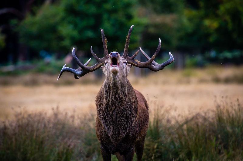 Elk standing on field