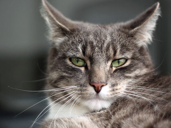Animal Themes Close-up Domestic Animals Domestic Cat Feline Felino Gato No People One Animal Pets Portrait