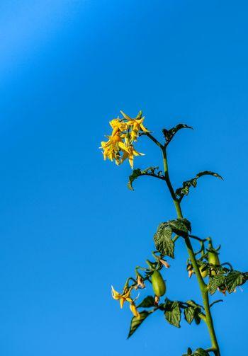Blütenstand Tomate Pflanze  Tomatenpflanze Frucht