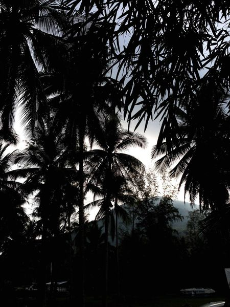 Urban Jungle. Jungle Palm Trees In The Jungle Thailand Palm Leaves Silhouette Immersed Misty Mountain Mountain View Spotted In Thailand Chaloklum