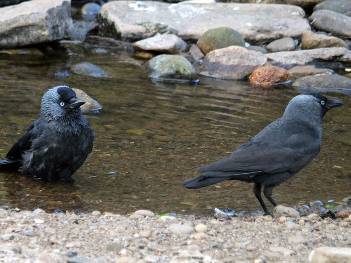 two jackdaws perched near a river with on sat in the water Bathing Birdwatching Jackdaws Animal Animal Family Animal Themes Animal Wildlife Animals In The Wild Bird Crows Day Full Length Group Of Animals Nature No People Outdoors Pebble Perching River Rock Rock - Object Rocks Solid Stone - Object Stream Two Animals Vertebrate Water Wet