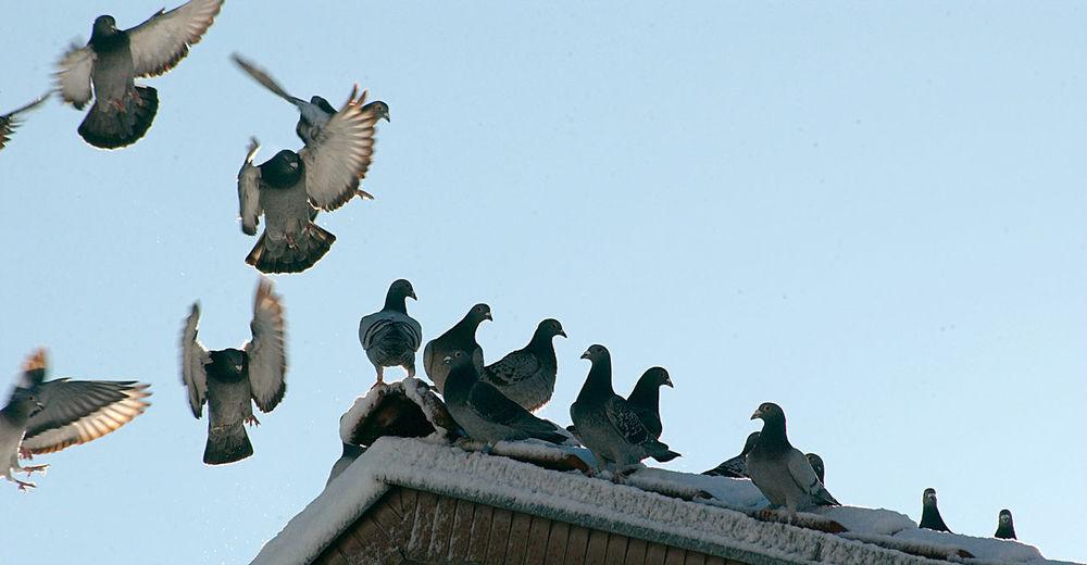 pigeons Bird Cold Dove Flock Of Birds House Pigeon Roof Snow Winter