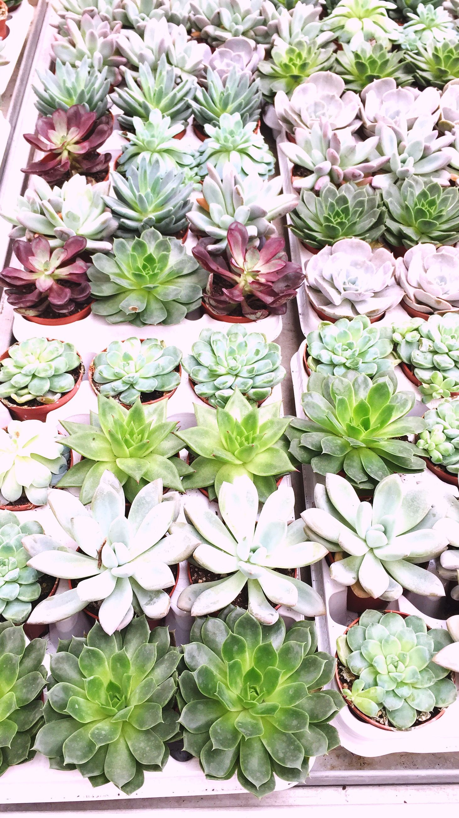 growth, plant, leaf, high angle view, freshness, potted plant, nature, beauty in nature, close-up, green color, fragility, flower, green, repetition, day, succulent plant, botany, growing, pink, outdoors, blossom, full frame, petal, plant life, in bloom, retail, springtime