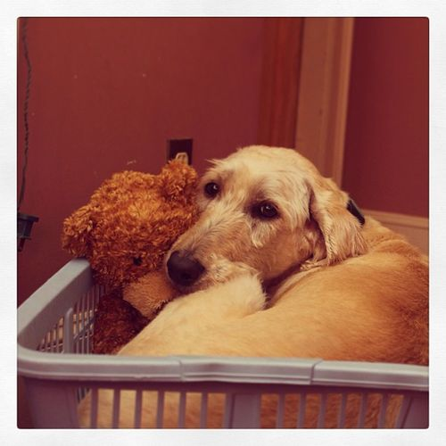 Silly Labradoodle Cuddling up in the Laundrybasket with a Teddybear . toocute cuteness