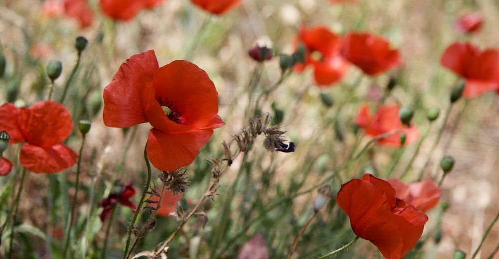 Close-up of bee on red poppy