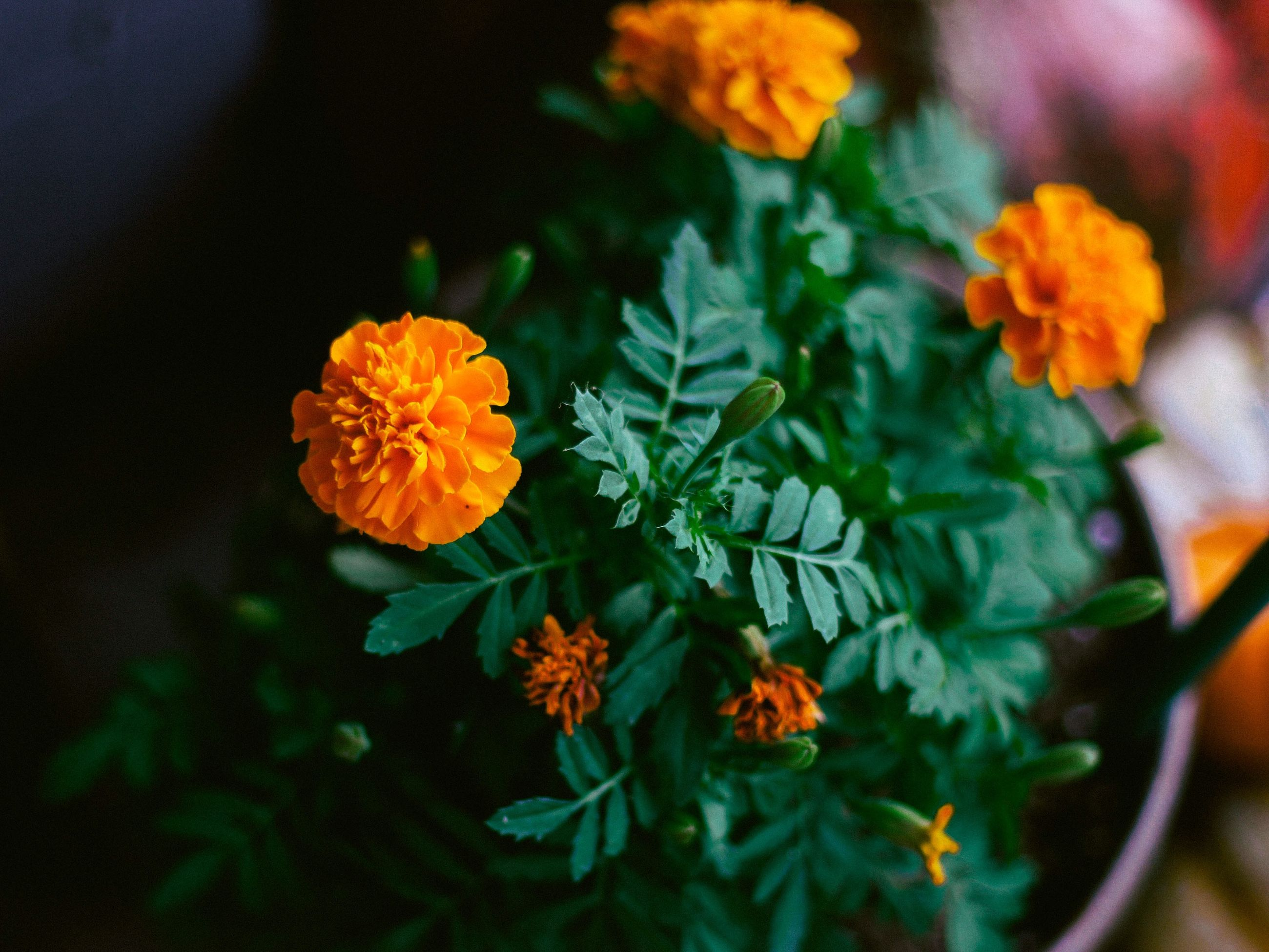 flowering plant, flower, freshness, plant, beauty in nature, fragility, vulnerability, petal, close-up, growth, inflorescence, orange color, flower head, marigold, no people, nature, selective focus, green color, leaf, plant part, outdoors