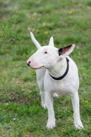 White Bull terrier on nature in the spring Animal Themes Bullterrier Close-up Day Dog Domestic Animals Field Grass Mammal Nature No People One Animal Outdoors Pets Terier White Color