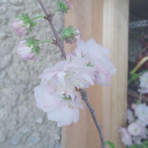 Spring Flowers Plants Sacura весна растения цветы ветка сакура