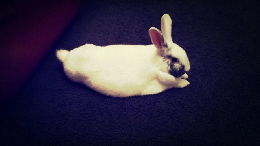 Lazy Bunny Thumper Cute Pets