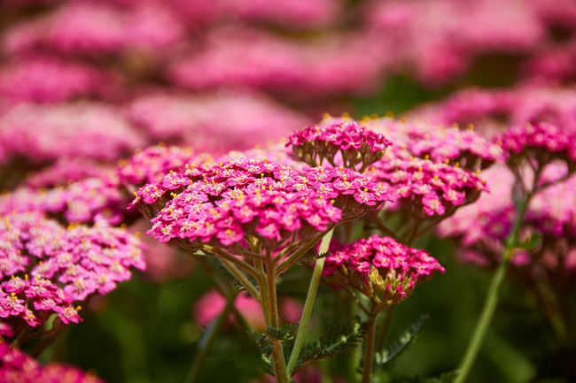 Beautiful Nature Beauty In Nature Blooming Blossom Botany Colorful Flower Flower Head Flowers,Plants & Garden Freshness Growth Macro Nature Naturelovers Petal Pink Pink Color Plant Springtime