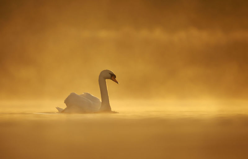 Side view of mute swan swimming in lake during sunset