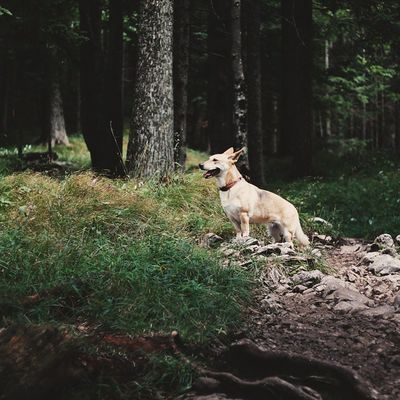 The majestic mountain Dachshund Trekking Bavaria Forest Dog