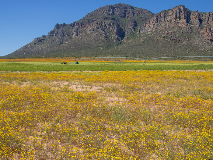 Field of yellow spring flowers with mountains, tractor and agricultural sprinkler in background. Photo taken in the Cedarberg region of South Africa in spring. Agriculture Farm South Africa Tractor Wildflower Yellow Flower Africa Agriculture Beauty In Nature Cedarberg Clear Sky Day Field Grass Landscape Mountain Mountain Range Nature No People Outdoors Scenics Sky Tranquil Scene Tranquility Yellow Paint The Town Yellow