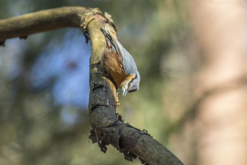 A nuthatch is searching for fodder on a tree Landscapes With WhiteWall Sitta Europaea Songbird  Tree Animal Animal Themes Animal Wildlife Animals In The Wild Bird Birds Day Nature Naturelovers No People Nuthatch One Animal Singing Bird Vertebrate