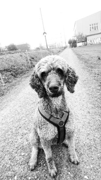 Ambra💖One Animal Pets Dog Railroad Track Transportation DogLove Dog Photography Dog Walking Dogs Of EyeEm Black&white Railway