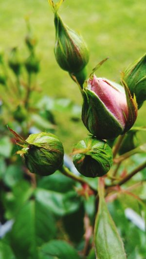Rose buds Green Color Plant Growth Leaf Nature Beauty In Nature Freshness Day Outdoors Ready To Flower First Flowers Close-up No People