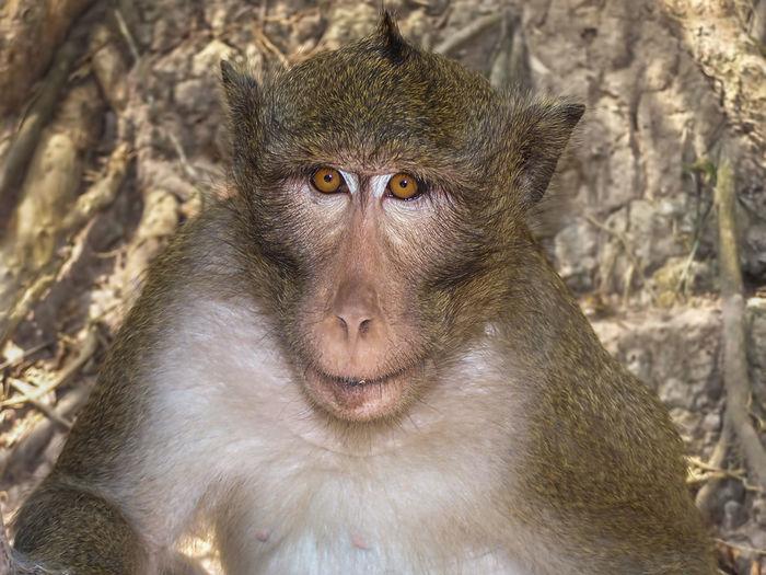 More bananas please Animal Themes Animal Wildlife Animals In The Wild Ape Cambodia Close-up Day Mammal Monkey Monkey Face Monkeys Nature No People One Animal Outdoors Portrait Primate Wildlife Photography