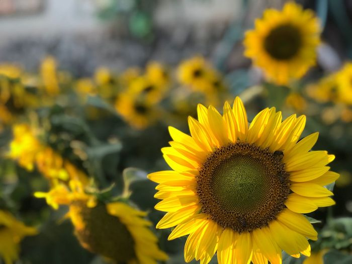 Flowering Plant Flower Yellow Freshness Plant Flower Head Fragility Beauty In Nature Vulnerability  Petal Inflorescence Sunflower Growth Focus On Foreground No People Nature Close-up Day Outdoors Pollen