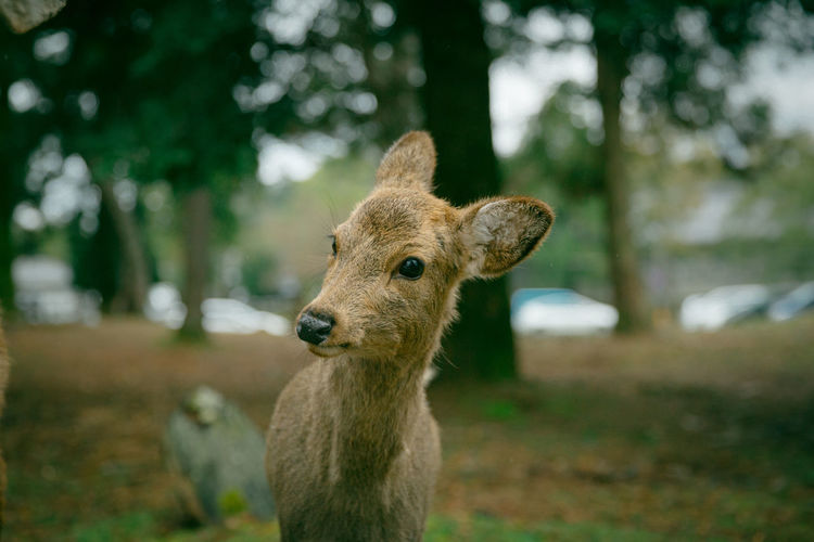 What a cutie!!! Animal Head  Animal Themes Brown Close-up Day Deer Eating Field Focus On Foreground Japan Mammal Nara Nature No People Outdoors Part Of Portrait Selective Focus Spring Squirrel Tree Tree Trunk Wildlife Ultimate Japan 17.62°