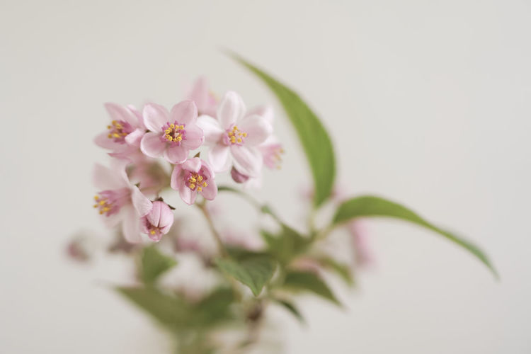 Close-up of pink cherry blossom against white background