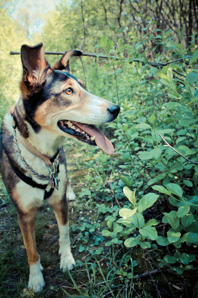 A walk in the forest with my pup? If thats not the essence of summer, I'm not sure what is! The Essence Of Summer- 2016 EyeEm Awards The Essence Of Summer - 2016 Eyem Awards Dog German Shepard Collie Shepard Collie Mix Nature Walk Beautiful Dog Prettiest Dogs Summer