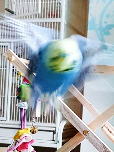 Caught in the moment. Blurred Motion No People Animal Themes Nature Photography Gibsy Mid-flight Action Shot  Fluttering Fluttering Wings Beauty In Nature Togetherness Flying To Me Pets Pets And Animals Pets Of Eyeem Animal Photography Animals Of Eyeem My Boy Bird Photography My Budgie