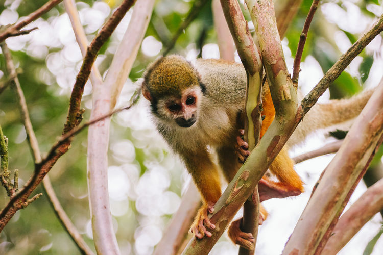 Low Angle View Of Spider Monkey On Tree
