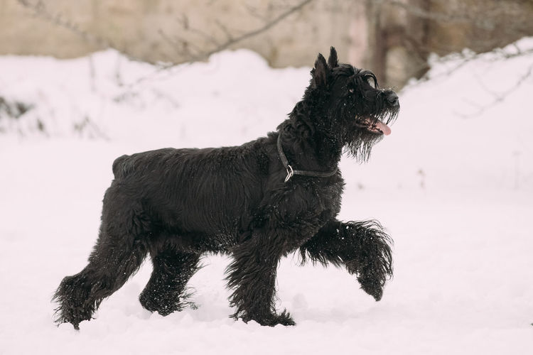 Funny Young Black Giant Schnauzer Or Riesenschnauzer Dog Walking Outdoor In Snow, Winter Season. Playful Pet Outdoors. Dog Pets Snow Winter Purebred Breed Pedigree Animal Field Land Snowing Cold Black Funny Fluffy Giant Schnauzer Riesenschnauzer Playful