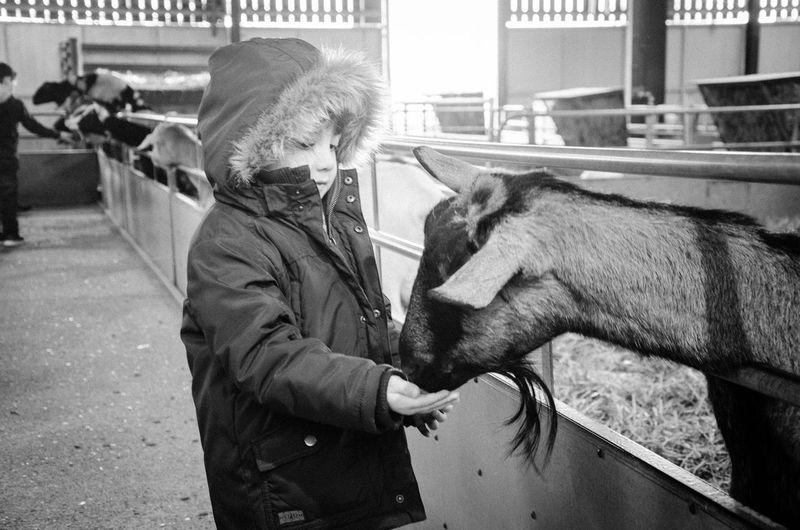 Boy Feeding Goat While Standing In Animal Pen