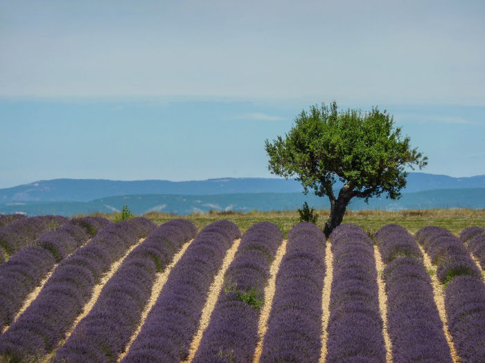 Agriculture Bale  Beauty In Nature Day Field Hay Bale Landscape Lavender Nature No People Outdoors Rural Scene Scenics Sky Tranquil Scene Tranquility Tree