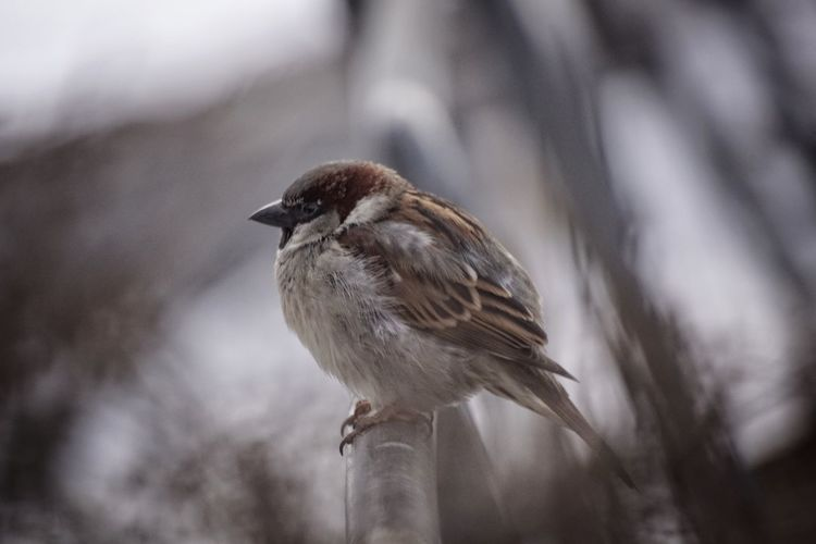 House Sparrow Showcase February 2018 Niklas Februari 2018 Bird Animal Wildlife Winter Animals In The Wild Perching Nature One Animal Animal Tree Outdoors Beauty In Nature No People Close-up Full Length Cold Temperature Day Animal Themes