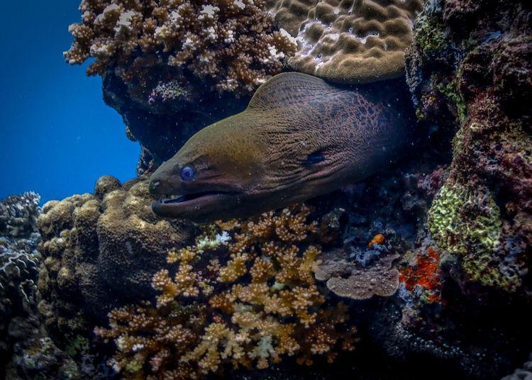 Large moray eel