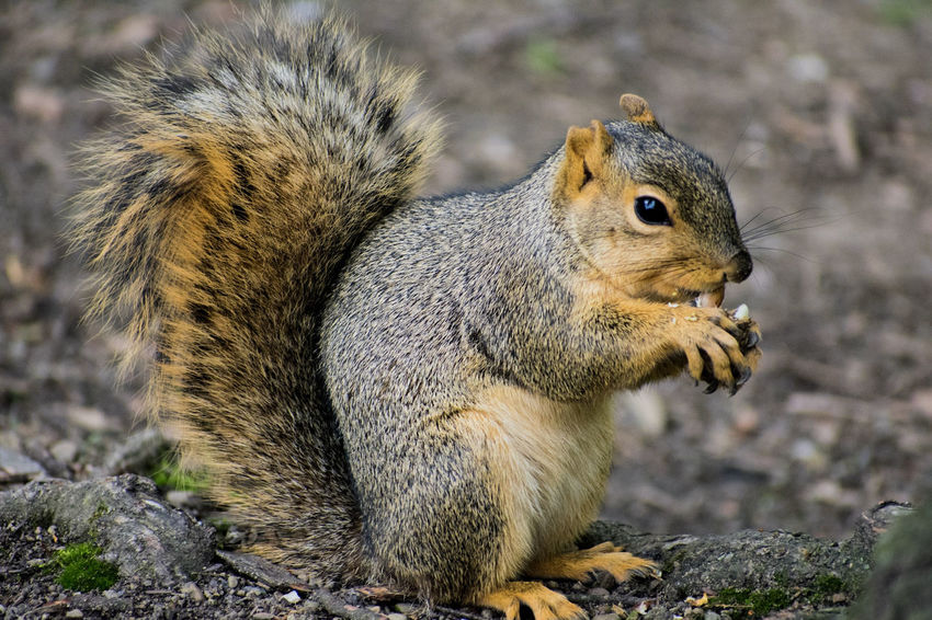 """All life is beautiful, no matter how big or how small"" Outdoors Animal Wildlife Nature Mammal Close-up Day Animal Themes Animals In The Wild Squirrel Squirrel Closeup Squirrel Eating EyeEmNewHere One Animal Eating No People"