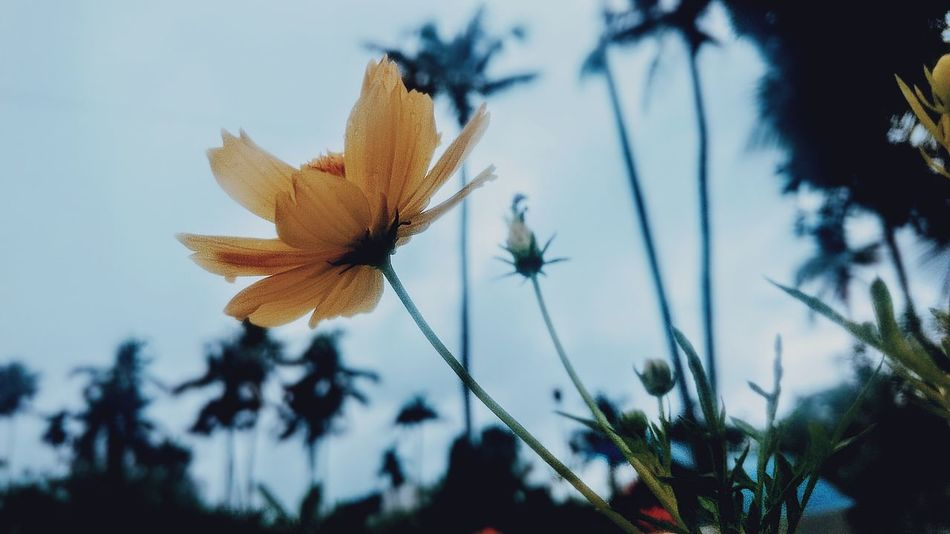 Gold. Outdoors EyeEmNewHere Plant Poppy Colors Photooftheday Happiness Photography Flower Head Day No People Springtime Top Flower Close-up Petal Nature Freshness Beauty In Nature The Week On EyeEm Fragility Beautiful Bright World Wonderful