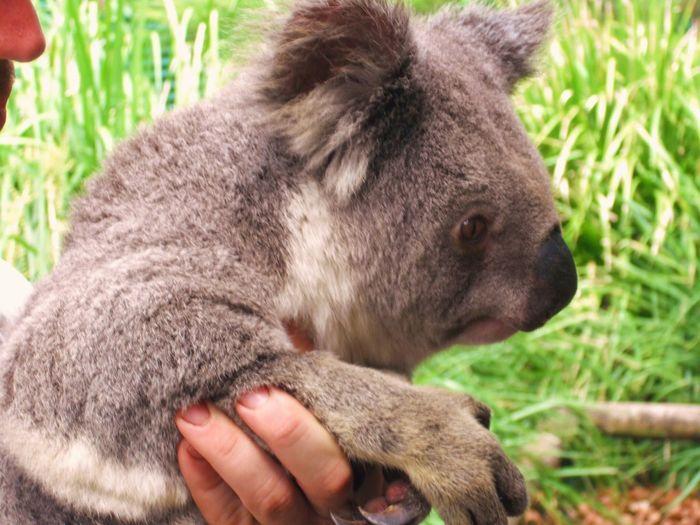 Koala Mammal