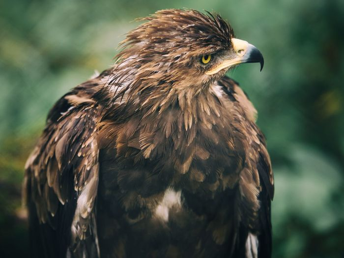 Animals In The Wild Eagle EyeEm Selects Nature Wildlife & Nature Animal Animal Themes Animal Wildlife Animals In The Wild Beak Bird Bird Of Prey Birds Birds_collection Close-up Day Eyes Focus On Foreground Nature Nature_collection No People One Animal Outdoors Portrait Wildlife