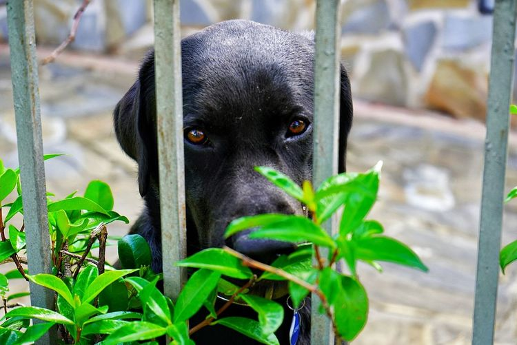 Pets Portrait Dog Looking At Camera Leaf Black Color Close-up Black Labrador