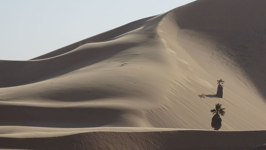 Date palm trees in sand dune