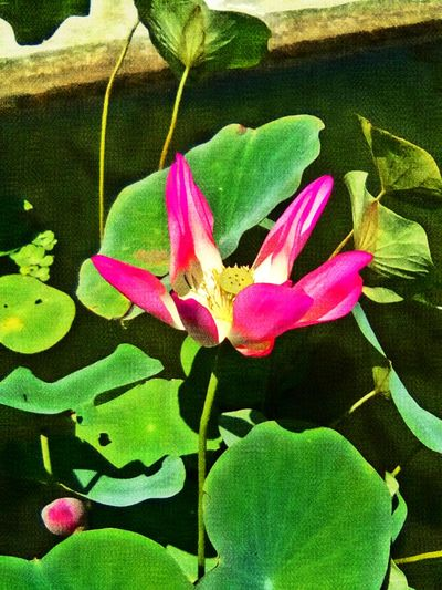 Loto. Loto Lotoflower Flower Garden 43GoldenMoments Photography Flores Garden Photography EyeEm Nature Lover EyeEm Gallery Jardinbotanico EyeEm Best Shots
