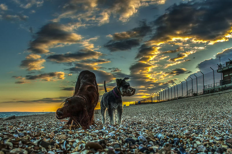 Last walk of the day Sunset Clouds Sea Beach Sky Dogs Domestic Animals Redsetter Friends Southsea Hampshire  England Full Length Sunset Water Sky Cloud - Sky