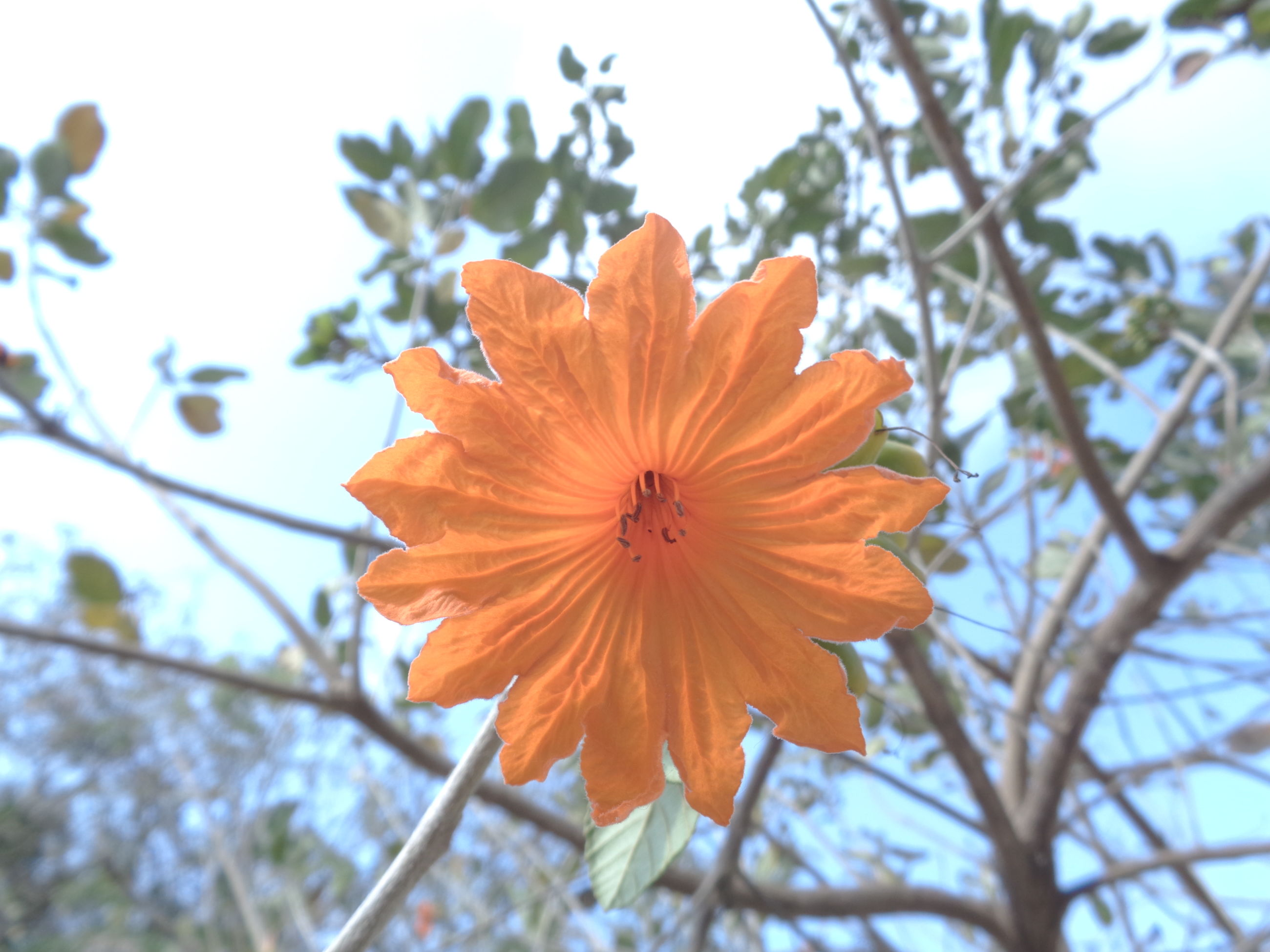 flower, petal, orange color, fragility, flower head, nature, beauty in nature, growth, freshness, springtime, no people, blooming, plant, day, low angle view, outdoors, pollen, focus on foreground, blossom, close-up, hibiscus, tree, branch, sky