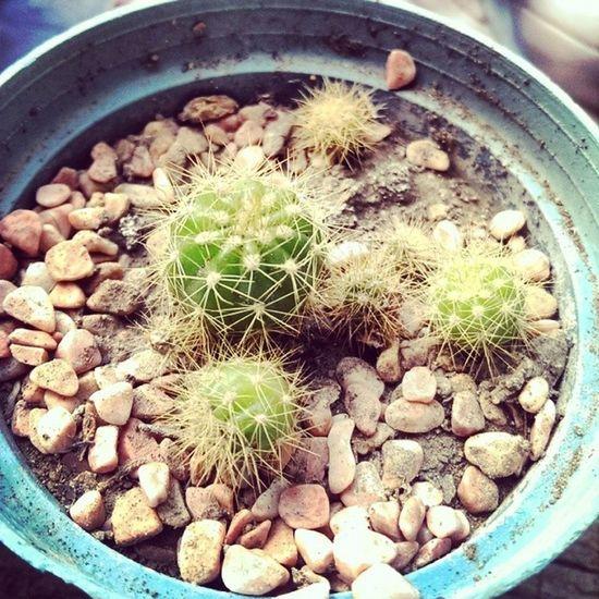Cactus Succulent 仙人掌 Houseplant