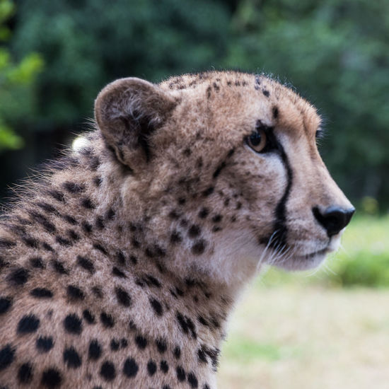 Cheetah profile Animal Themes Animal Animal Wildlife Mammal Animals In The Wild One Animal Cat Cheetah Focus On Foreground Big Cat Animal Head  No People Close-up Animal Body Part Day Side View Profile View Undomesticated Cat