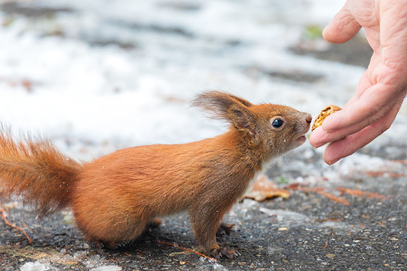Close-up of squirrel eating nuts from human hand
