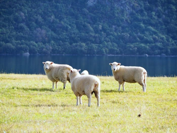 Livestock Field Domestic Animals Animal Themes Mammal Green Color Beauty In Nature Outdoors Sheep Grazing Young Animal Inspired Peaceful New Zealand Impressions New Zealand Photography Kiwiland Lives