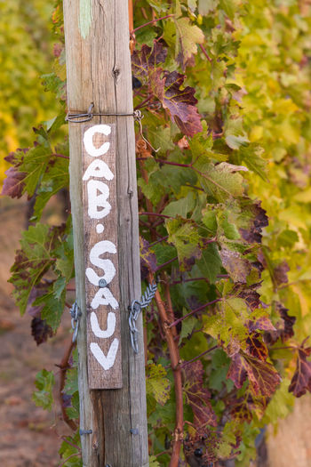 Row of cabernet sauvignon grapevines in autumn with painted signpost Afternoon Agriculture Autumn Autumn Colors Autumn Leaves British Columbia, Canada Cabernet Sauvignon Grapevine Naramata Naramata Bench October Post Travel Close-up Day Nature Outdoors Painted Sign Row Signpost South Okanagan Tourism Vineyard Viniculture Winery