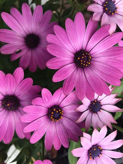 Cape Daisies Flower Flowering Plant Fragility Petal Osteospermum Plant Flower Head Freshness Beauty In Nature Pink Color Growth No People Focus On Foreground High Angle View Close-up Nature