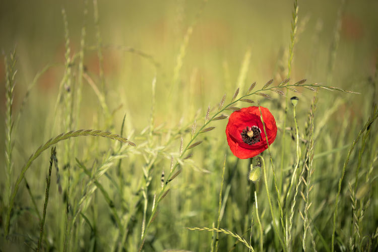 Plant Red Growth Flower Flowering Plant Freshness Poppy Beauty In Nature Fragility Vulnerability  Nature Field Close-up Petal Green Color Inflorescence Selective Focus Day Focus On Foreground Flower Head No People Outdoors Summer Spring Grass