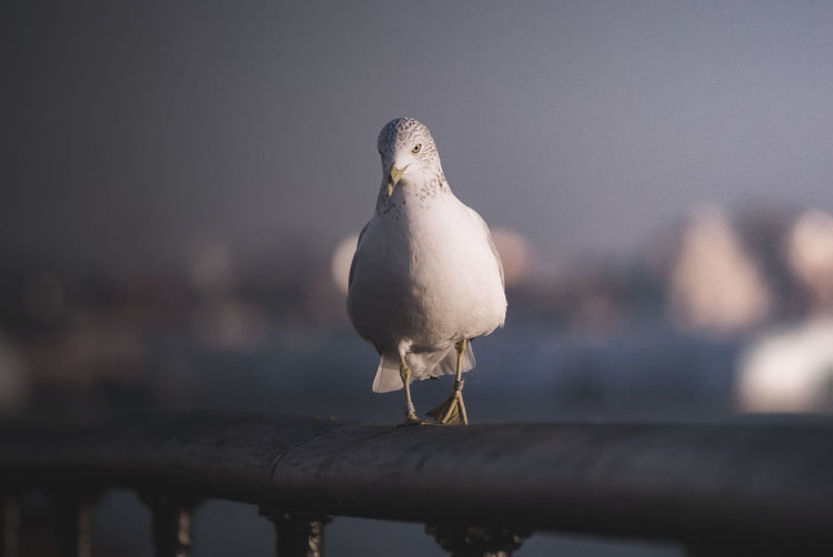 less saturation Bird Animal Animal Themes Vertebrate Perching Animals In The Wild Animal Wildlife One Animal Seagull Day No People Focus On Foreground Nature Front View Railing Close-up Full Length Outdoors Selective Focus Metal